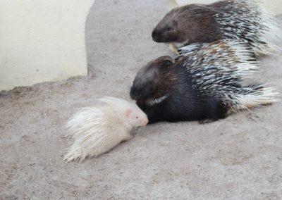 Distance sociale – une histoire de porcs-épics. Un peu d'humour.